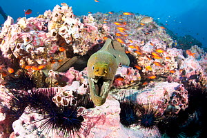 Green moray (Gymnothorax castaneus) with sea urchins and Guadalupe cardinalfish (Apogon guadalupensis) Malpelo Island  National Park, UNESCO World Heritage Site, Colombia, East Pacific Ocean  -  Franco  Banfi