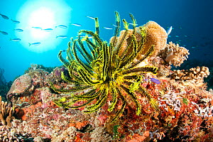 Crinoid or feather star on the reef, Tubbataha Reef Natural Park, UNESCO World Heritage Site,  Sulu Sea, Cagayancillo, Palawan, Philippines  -  Franco  Banfi