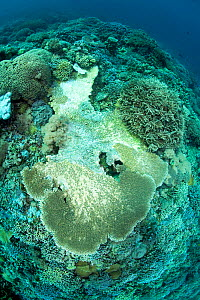 Reef covered with hard coral (Acropora hyacinthus) with signs of disease and  bleaching,  Tubbataha Reef Natural Park, UNESCO World Heritage Site,  Sulu Sea, Cagayancillo, Palawan, Philippines  -  Franco  Banfi