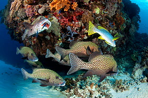 Shoal of Many-spotted sweetlips (Plectorhinchus chaetodonoides) on a cleaning station, Tubbataha Reef Natural Park, UNESCO World Heritage Site,  Sulu Sea, Cagayancillo, Palawan, Philippines  -  Franco  Banfi