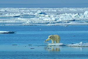 Polar bear (Ursus maritimus) on the edge of the pack ice, Svalbard, Norway. June. - Andy Rouse