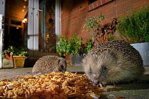 Two Hedgehogs (Erinaceus europaeus) feeding on mealworms and oatmeal left out for them on a patio, watched by home owners, Chippenham, Wiltshire, UK, August. Taken with a remote camera. Property and m...  -  Nick Upton