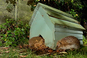 Hedgehog (Erinaceus europaeus) entering a hedgehog house at night in a suburban garden as another approaches, Chippenham, Wiltshire, UK, September.  Taken with a remote camera trap.  -  Nick Upton
