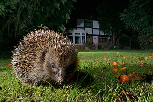 Hedgehog (Erinaceus europaeus) foraging on a lawn in a suburban garden at night, Chippenham, Wiltshire, UK, September.  Taken with a remote camera. Property released.  -  Nick Upton