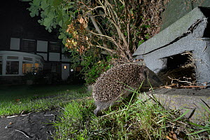Hedgehog (Erinaceus europaeus) heading for a hedgehog house at night in a suburban garden, Chippenham, Wiltshire, UK, August.  Taken with a remote camera trap. Property released.  -  Nick Upton