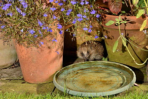 Hedgehog (Erinaceus europaeus) visiting a water bowl left out on a patio for hedgehogs to drink from, at night, Chippenham, Wiltshire, UK, August.  Taken with a remote camera trap. Property released.  -  Nick Upton
