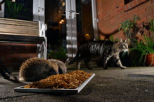 Two Hedgehogs (Erinaceus europaeus) feeding on mealworms left out for them on a patio as a domestic cat walks past, Chippenham, Wiltshire, UK, August.  Taken with a remote camera. Property released.  -  Nick Upton