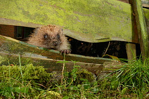 Hedgehog (Erinaceus europaeus) entering a suburban garden from the next door garden by squeezing through a gap in the fence at night, Chippenham, Wiltshire, UK, August.  Taken with a remote camera tra...  -  Nick Upton