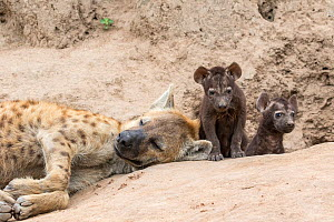 Spotted hyena (Crocuta crocuta)  pups at the den with resting adult, Sabi Sands  Private Game Reserve, South Africa  -  Denis-Huot