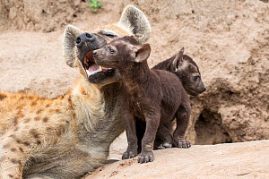 Spotted hyena (Crocuta crocuta), adult and pup at the den, Sabi Sands  Private Game Reserve, South Africa  -  Denis-Huot