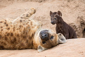 Spotted hyena (Crocuta crocuta) adult and pup at the den, Sabi Sands  Private Game Reserve, South Africa  -  Denis-Huot