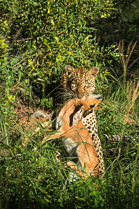 Leopard (Panthera pardus) killing a Steenbok (Raphicerus campestris) Motswari private game reserve, South Africa  -  Denis-Huot