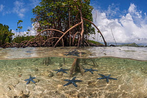 Split level view blue starfish (Linckia laevigata) scattered in the shallow white sands and a mangrove tree with its numerous aerial root (Rhizophora sp), Nukubati Island Resort, Macuata Province, Fij...  -  Jurgen Freund