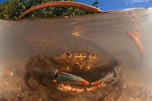 Mud crabs (Scylla serrata) in the water by the mangrove roots - split level image, Mali Island, Macuata Province, Fiji, South Pacific - Jurgen Freund