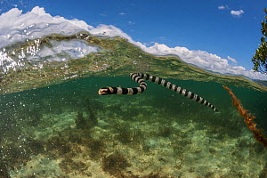 Banded sea krait (Laticauda colubrina) near mangrove at low tide, Mali Island, Macuata Province, Fiji, South Pacific  -  Jurgen Freund