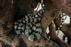 Banded sea kraits (Laticauda colubrina) gathering round mangrove tree  at low tide, Mali Island, Macuata Province, Fiji, South Pacific  -  Jurgen Freund