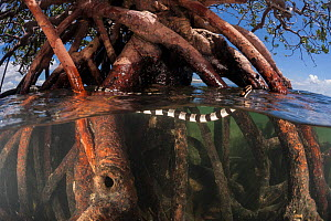 Banded sea krait (Laticauda colubrina) in mangrove tree at low tide, Mali Island, Macuata Province, Fiji, South Pacific  -  Jurgen Freund