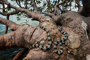 Banded sea kraits (Laticauda colubrina) in mangrove tree at low tide, Mali Island, Macuata Province, Fiji, South Pacific  -  Jurgen Freund