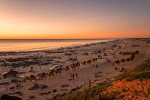 Cable Beach at sunset with people riding Dromedary camels (Camelus dromedarius) and many vehicles driving along the beach, Broome, Western Australia. July 2016. - Jurgen Freund