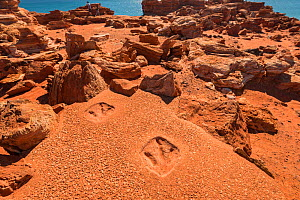 Replica of dinosaur footprints on Gantheaume Point. The real dinosaur footprints preserved in reef rock can be seen at very low tide at the bottom of the cliff, Kimberley, Western Australia. July 2016...  -  Jurgen Freund