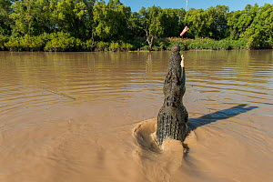 Saltwater crocodile (Crocodylus porosus) jumping up to grab a piece of chicken hung over the water by Adelaide River cruise boat skipper, Adelaide River, Darwin, Northern Territories, Australia  -  Jurgen Freund