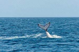 Humpback whale (Megaptera novaeangliae) tail slapping during  Hervey Bay during the winter/spring humpback migration, Hervey Bay, Queensland, Australia  -  Juergen Freund
