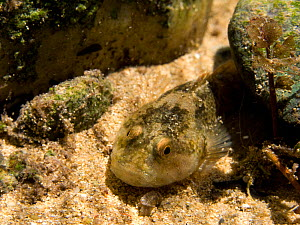 European bullhead (Cottus gobio) on riverbed of small river,  Ain, Alps, France, May.  -  Remi Masson