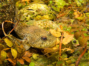 European bullhead (Cottus gobio) camouflaged among rocks and aquatic plants, Ain, Alps, France  -  Remi Masson