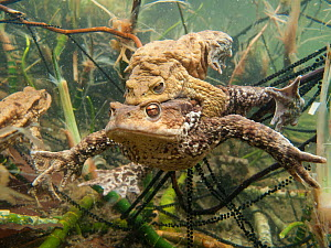 Common toad (Bufo bufo) pair in amplexus with long ribbons of toadspawn, Ain, Alps, France  -  Remi Masson