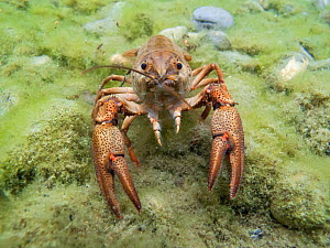 European crayfish (Astacus astacus) in a lake. Alps, Switzerland, July.  -  Remi Masson