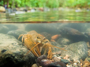Stone crayfish (Austropotamobius torrentium) in a small river. There are only 3 populations of this species left in France. Haute-Savoie, Alps, France, July.  -  Remi Masson