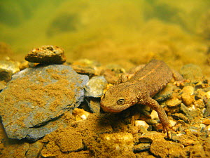 Pyrenean brook salamander (Calotriton asper) under a small river.  Pyrenees, Ariege, France, August.  -  Remi Masson
