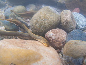 Brook lamprey (Lampetra planeri) mating  in a river. Savoie, Alps,  France - Remi Masson