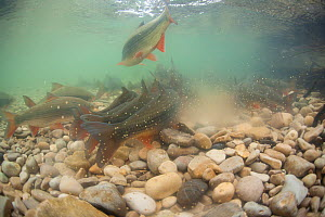 Common nase (Chondrostoma nasus) spawning in river,  River Ain, Alps, France, April. - Remi Masson
