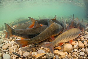 Common nase (Chondrostoma nasus)  migration for spawning,  Alps, River Ain, France, April. - Remi Masson