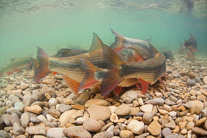 Common nase (Chondrostoma nasus) in a river during the spawning, River Ain, Alps,  France, April. - Remi Masson