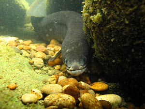 European eel (Anguilla anguilla) in the River Rhone, Alps, France. Critically endangered species.  -  Remi Masson
