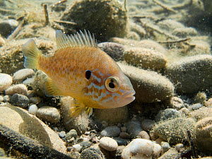 Pumpkinseed (Lepomis gibbosus) in a lake. Savoie, Alps, France, July.  -  Remi Masson