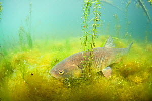 Chub (Squalius cephalus) on the bottom of a river, River Rhone, Alps,  France - Remi Masson