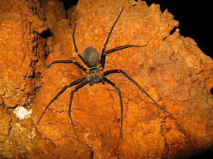 Giant cave spider (Heteropoda sp.) Sulawesi, Indonesia. One of the worlds largest spider with a leg span of 25 cm - Remi Masson