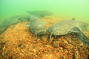 Wels catfish (Silurus glanis) on the bottom of the River Rhone, France - Remi Masson
