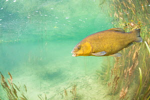 Tench (Tinca tinca) near the River Ain, Alps,  France, June. - Remi Masson