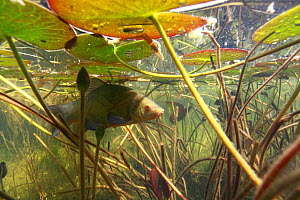 Tench (Tinca tinca) under waterlily leaves, near the River Ain, France - Remi Masson