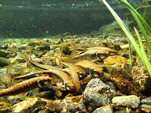 Common minnow (Phoxinus phoxinus) in a mountain lake. Alps, Savoie, France - Remi Masson