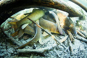 Common barbel (Barbus barbus) gregarious behavior, River Rhone, France, March. - Remi Masson