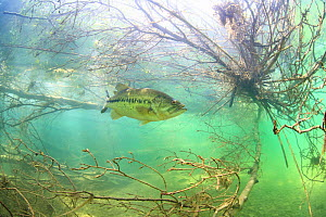 Largemouth bass (Micropterus salmoides) Rio Ebro, Spain, April. - Remi Masson