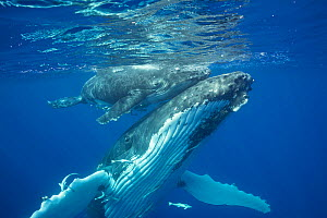 Humpback whale (Megaptera novaeangliae) mother supporting her calf at the water surface, Vava'u, Kingdom of Tonga, South Pacific. September. Both mother and baby have remora fish attached to their und...  -  Doug Perrine
