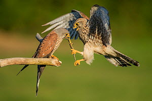 Female kestrel (Falco tunniculus) taking lizard prey gift  from male,   Mayenne, France  -  Eric  Medard