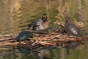 Common pochard (Aythya ferina) female on mat of vegetation with European pond terrapin (Emys obicularis) in the lake at Quinta do Lago, part of the Ria Formosa Nature Reserve, Algarve, Portugal, Febru...  -  Mike Read