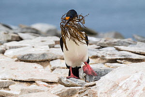 Imperial shag (Phalacrocorax atriceps albiventer) adult on rocks with a beakful of nesting material, Sealion Island, Falkland Islands. December.  -  Mike Read